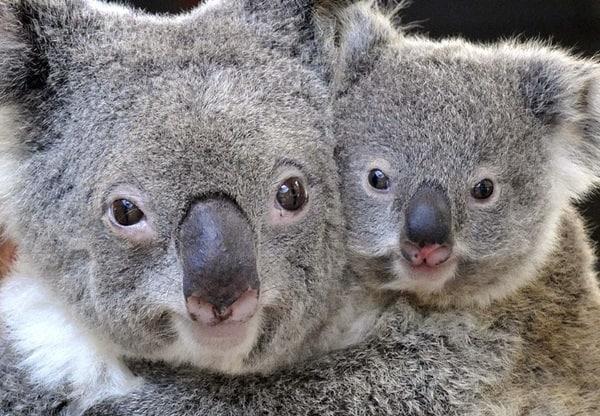 40 Amazing Koala Pictures 12