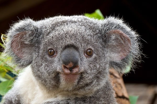 40 Amazing Koala Pictures 14