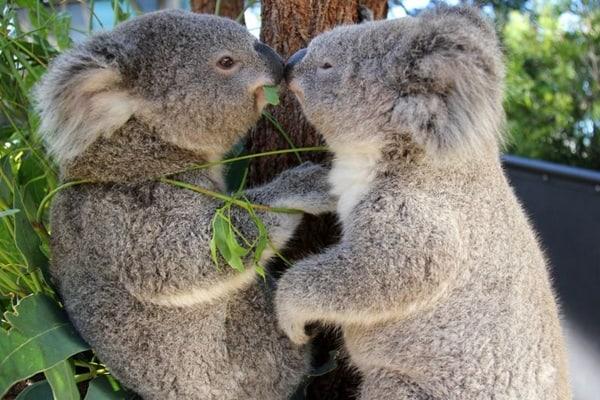 40 Amazing Koala Pictures 16