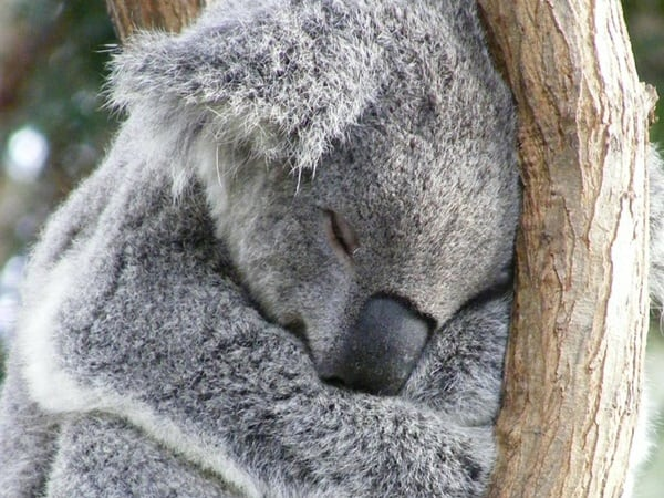 40 Amazing Koala Pictures From the Awww... World - Tail ...