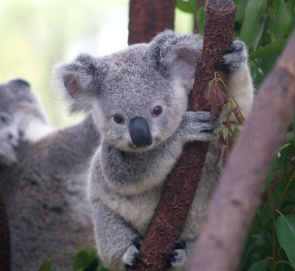 40 Amazing Koala Pictures 2