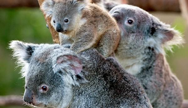 40 Amazing Koala Pictures 20