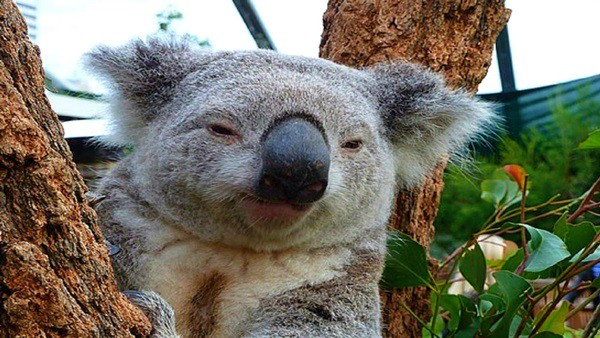 40 Amazing Koala Pictures 21