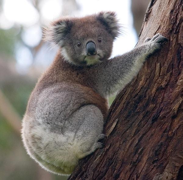40 Amazing Koala Pictures 22