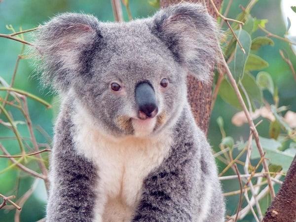 40 Amazing Koala Pictures 24