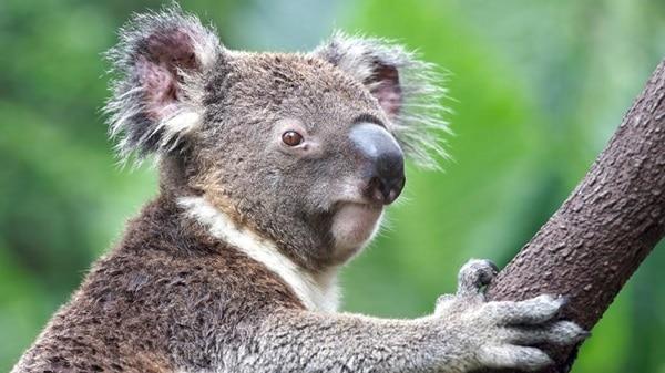 40 Amazing Koala Pictures 25