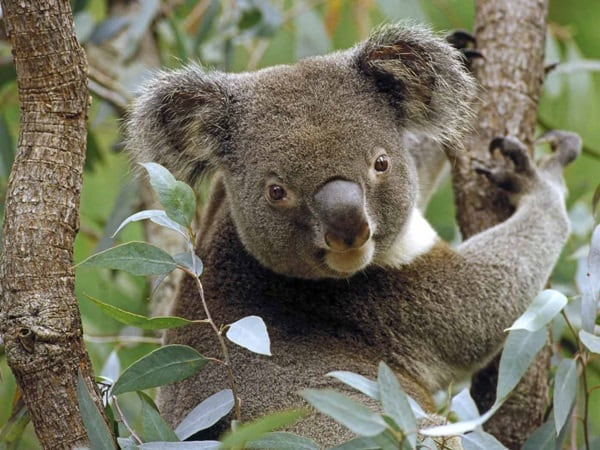 40 Amazing Koala Pictures 28