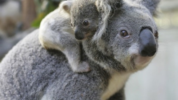 40 Amazing Koala Pictures 29