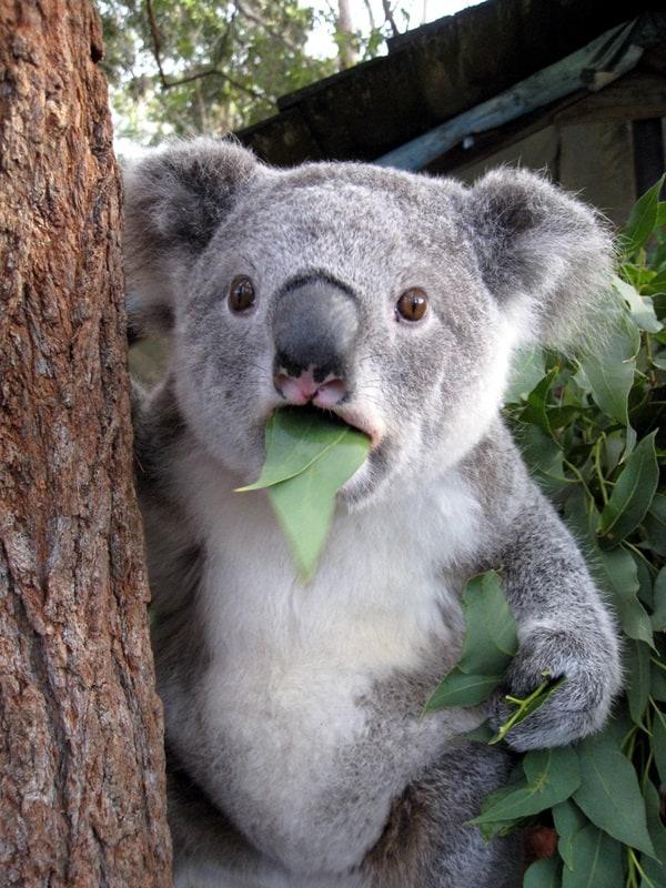 40 Amazing Koala Pictures 3