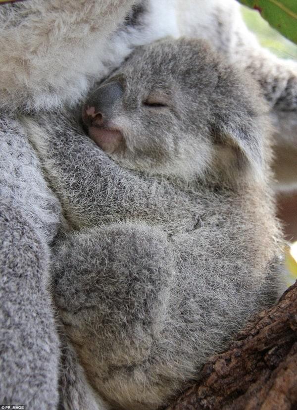 40 Amazing Koala Pictures 32