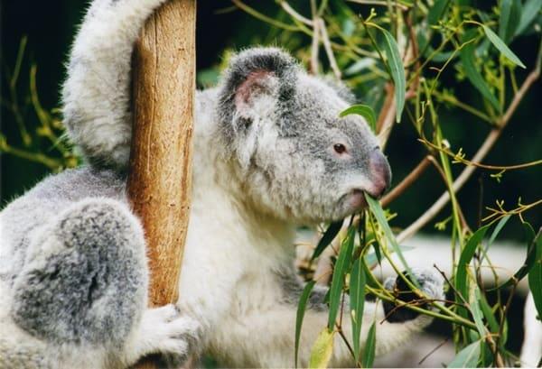 40 Amazing Koala Pictures 33