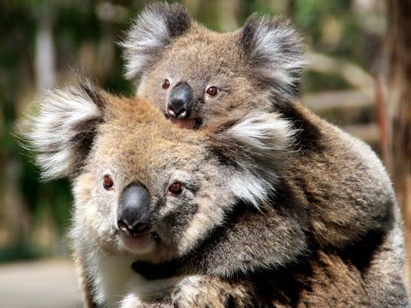 40 Amazing Koala Pictures 34