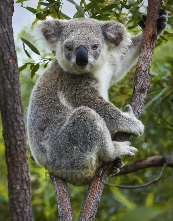 40 Amazing Koala Pictures 35