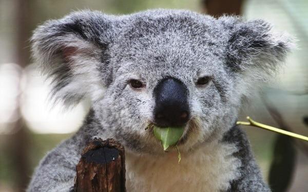 40 Amazing Koala Pictures 36
