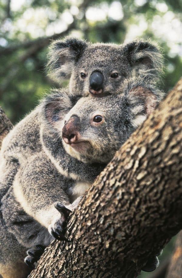 40 Amazing Koala Pictures 37