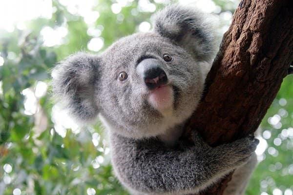 40 Amazing Koala Pictures 38