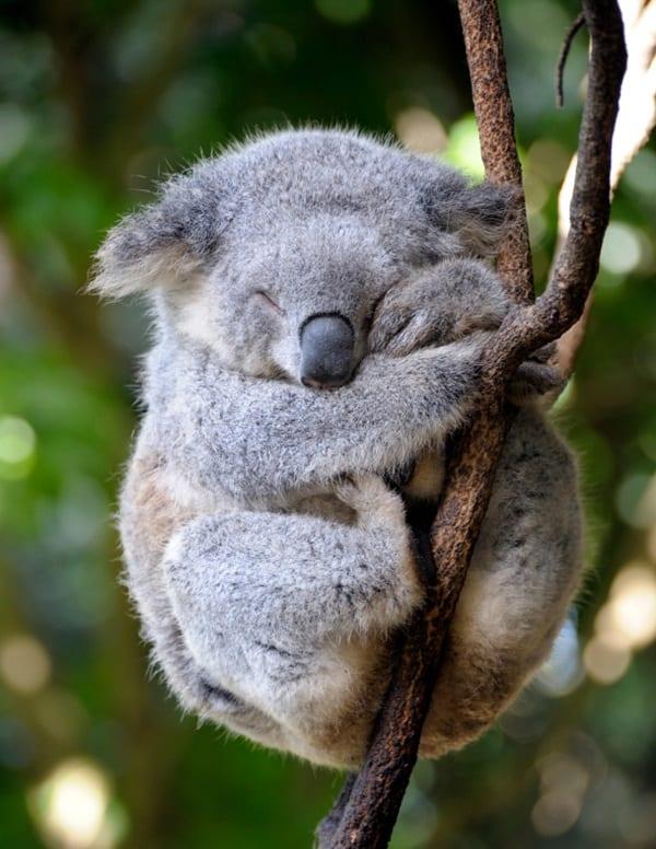 40 Amazing Koala Pictures 4
