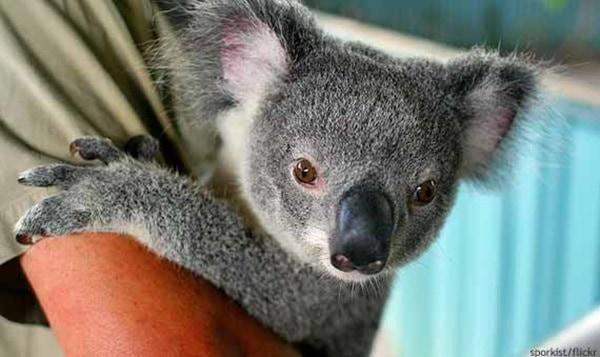 40 Amazing Koala Pictures 40