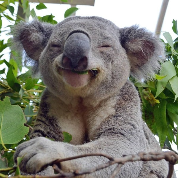 40 Amazing Koala Pictures 5
