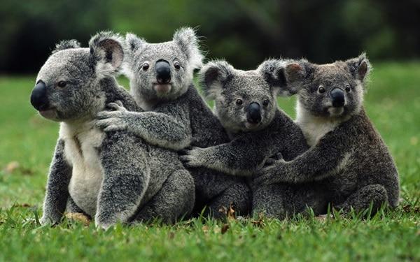 40 Amazing Koala Pictures 6
