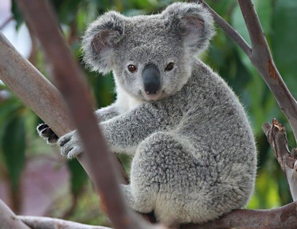 40 Amazing Koala Pictures 7