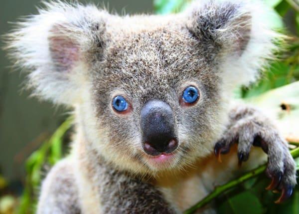 40 Amazing Koala Pictures 8