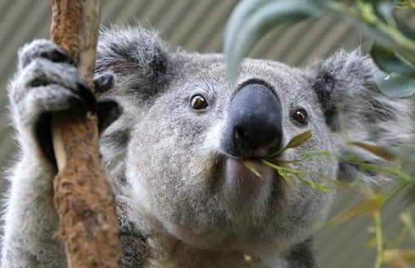 40 Amazing Koala Pictures 9