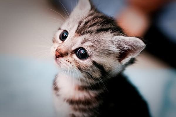 40 Beautiful and Cute Kitten Pictures 19