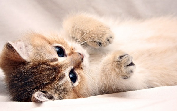 40 Beautiful and Cute Kitten Pictures 33