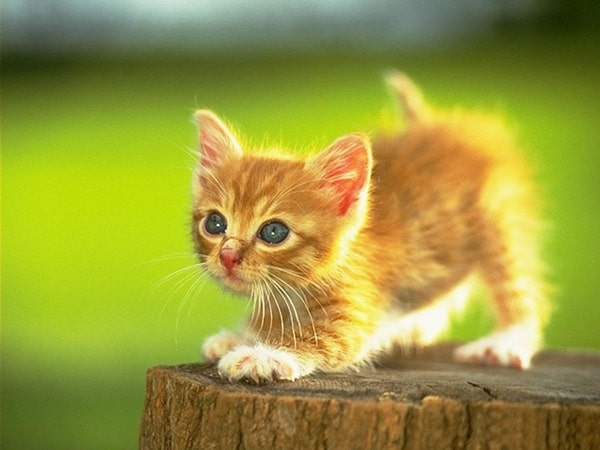 40 Beautiful and Cute Kitten Pictures 6