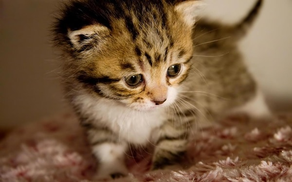 40 Beautiful and Cute Kitten Pictures 8