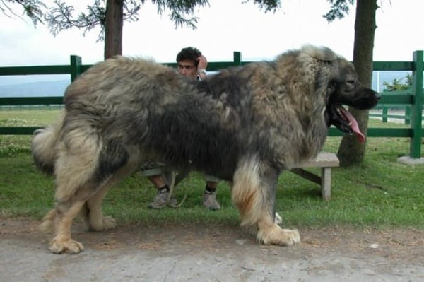 biggest-dogs-in-the-world-1