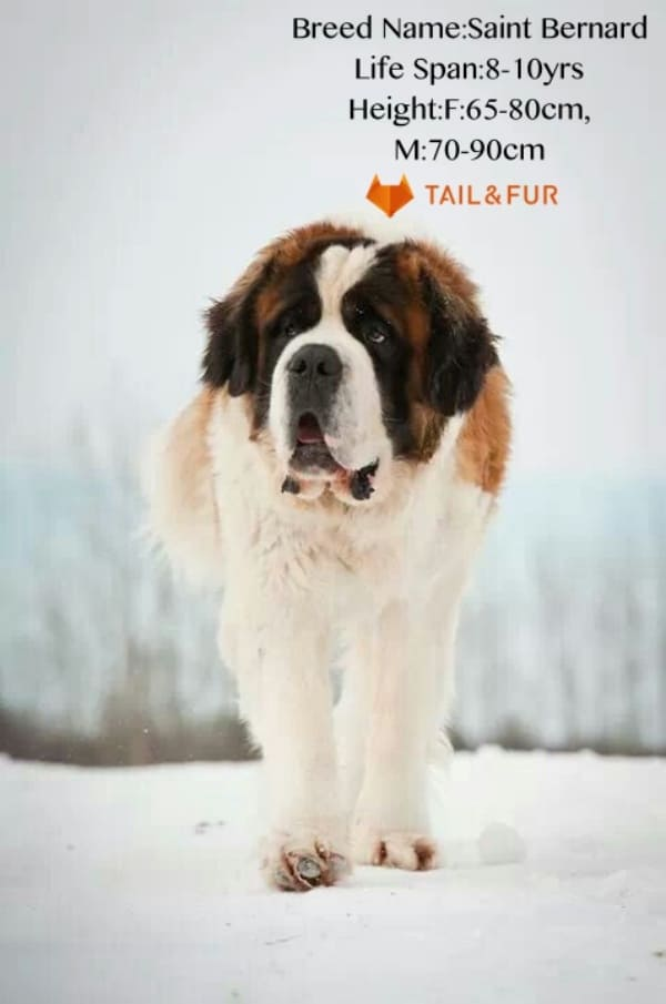 18 Biggest Dogs In The World And Their Guinness World Records