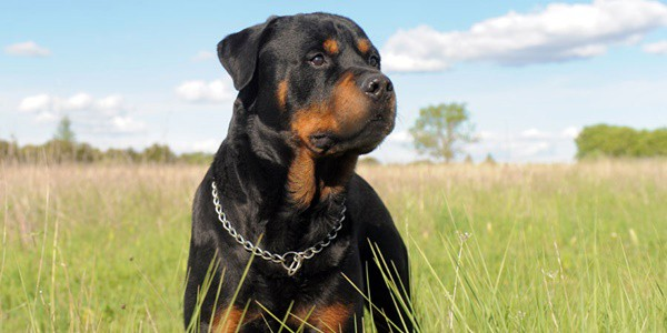 types-of-large-dog-breeds-2
