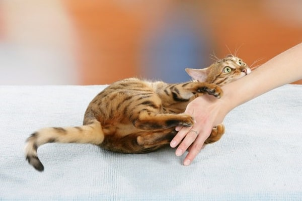 9 Tips to Stop your Cat Biting 6