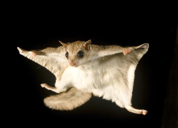 6 Amazing Animals that can fly without Wings - Tail and Fur