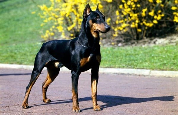 10 Best Muscular Dog Breeds in the World 6
