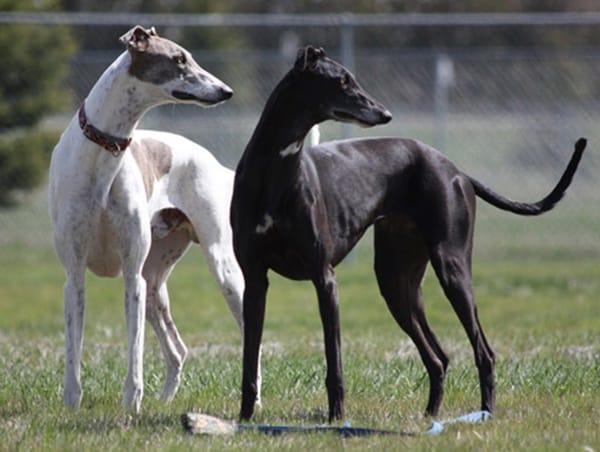 Sage & Annie Greyhounds