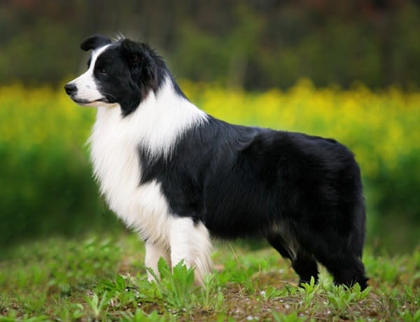 10 Easiest Dog Breeds to Train 1