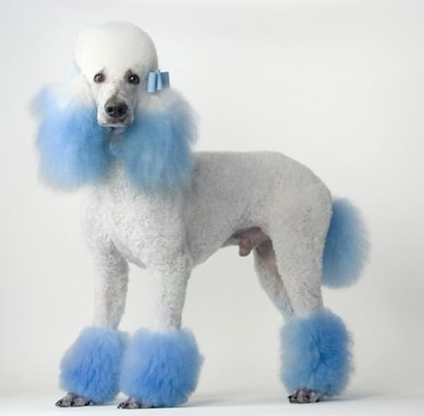 Poodle Dog Haircuts Image Collections Haircuts For Men And Women
