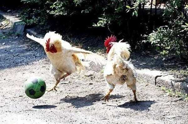 30 Funny Pictures of Chicken 1