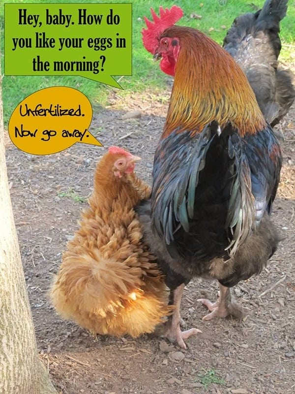 30 Funny Pictures of Chicken 11