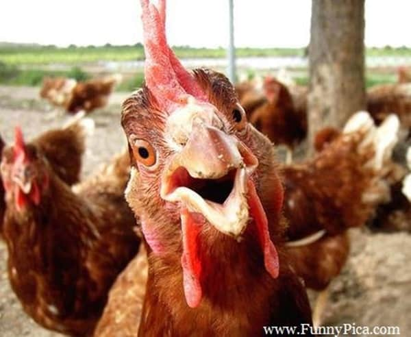 30 Funny Pictures of Chicken 2