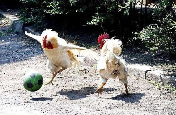 30 Funny Pictures of Chicken 21