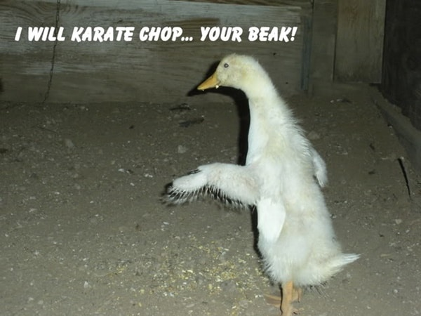 30 Funny Pictures of Chicken 30