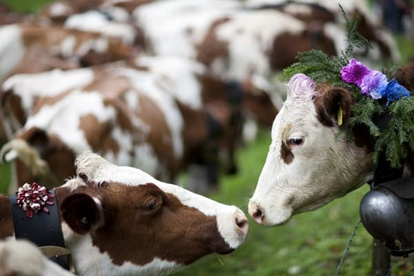 5 Causes Of Sudden Death In Cows