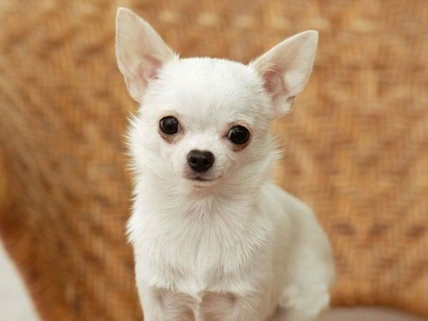 Healthiest dog breeds (10)