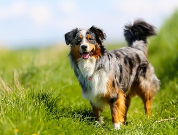 Healthiest dog breeds (5)