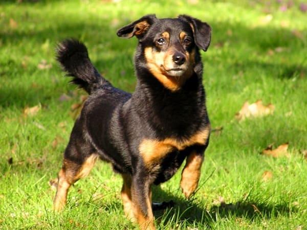 Healthiest dog breeds (7)