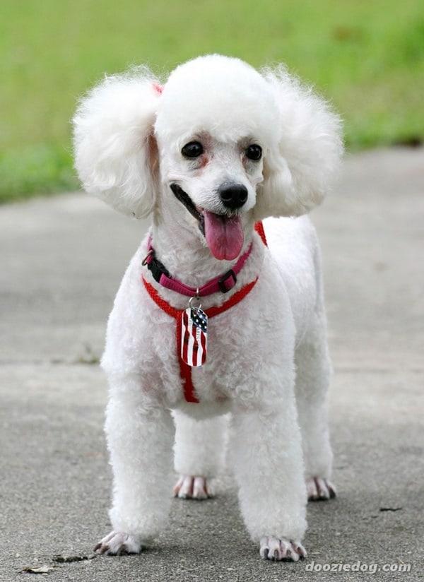 Healthiest dog breeds (9)